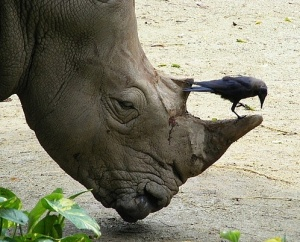 Rhino:Rondo & coach